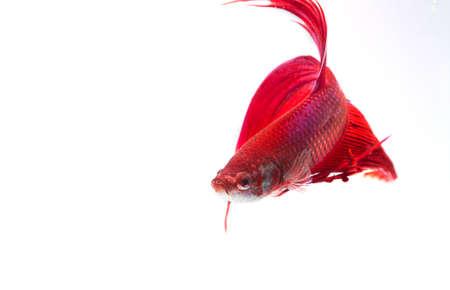 fighting fish: Red Siamese fighting fish (Betta splendens) isolated on white background.