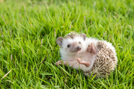 young: Hedgehog in the garden , African pygmy hedgehog