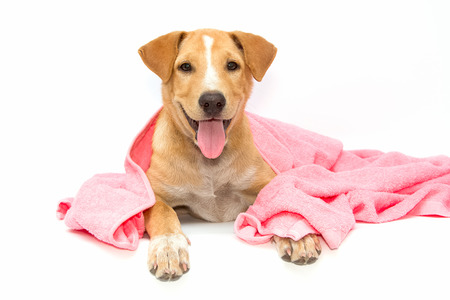 hond na het bad met een roze handdoek op witte achtergrond