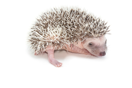 pygmy: baby pygmy hedgehog , isolate