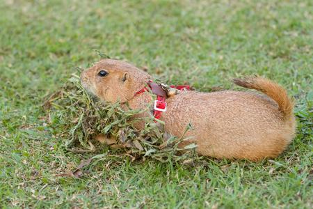 prairie dog: prairie dog lying on green playground