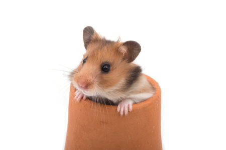 cute hamster: Hamster (Syrian Hamster) in clay pot on white background