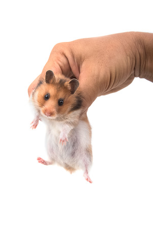 syrian: Hamster (Syrian Hamster) in hand on white background Stock Photo