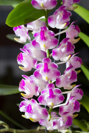 fragrant: fragrant orchid flowers in the botanic garden