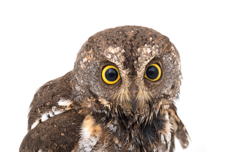 night owl: Oriental scops owl isolate on white background