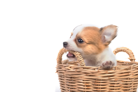 miniature breed: adorable cachorro chihuahua en la cesta