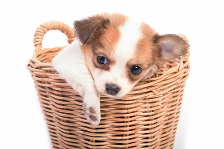 chihuahua puppy: adorable Chihuahua puppy in basket
