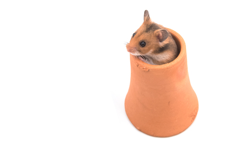 clay pot: Hamster (Syrian Hamster) in clay pot on white background
