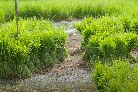 farm duties: Traditional Thai style rice growth Stock Photo