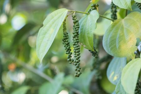 peper: Fresh green peper