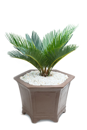 cycad: cycad plam tree plant on white background