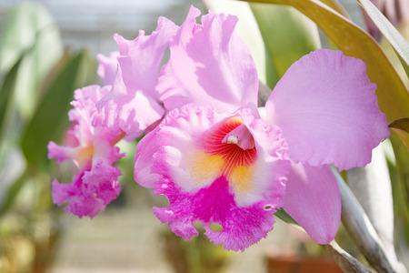 cattleya: Violet cattleya orchid flower