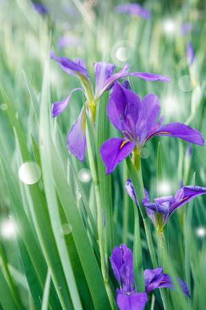 purple irises: Group of purple irises in spring sunny day