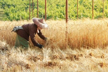 scythe: Farmer harvesting wheat with scythe in wheat fields