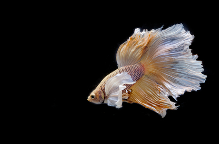 big ear: Moving moment of big ear siamese fighting fish isolated on black background.