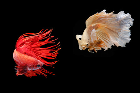 capture the moment: Moving moment of big ear siamese fighting fish isolated on black background.