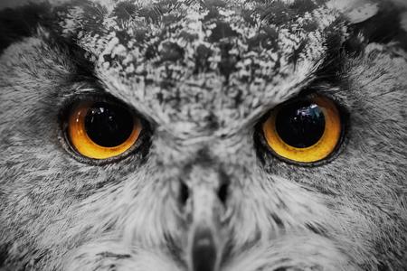 Close-up van uil gezicht, Vleesetende vogel met amberkleurige ogen. Stockfoto