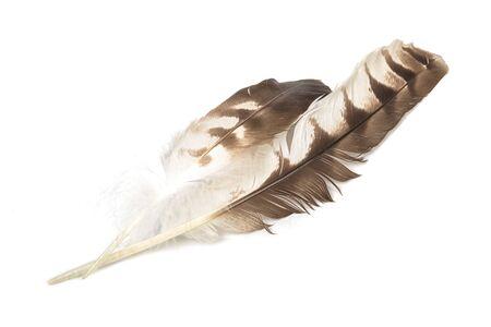 Águila pluma aislada en el fondo blanco