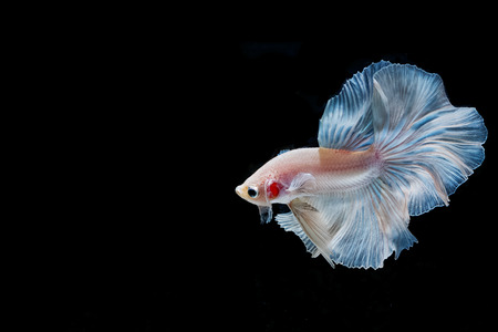 fineart: moving moment of white siamese fighting fish isolated on black background