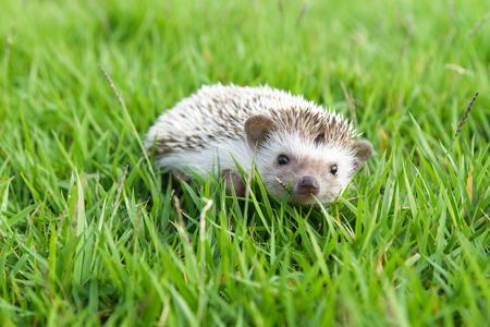 fall protection: Little Hedgehog in the green grass