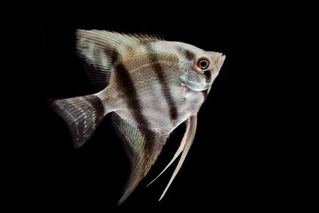 fishtank: Silver blue angelfish isolated on black background