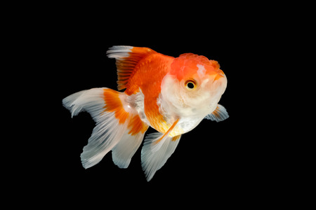 lionhead: Oranda gold fish isolated on black background