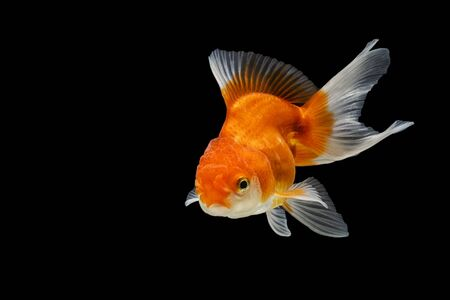 Oranda gold fish isolated on black background