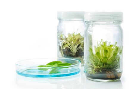 tissue culture: Sundew (Carnivorous Plant),Plant tissue culture in the laboratory on white
