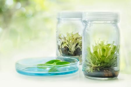 tissue culture: Sundew (Carnivorous Plant),Plant tissue culture in the laboratory