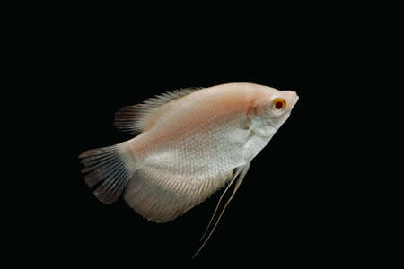 fishtank: Giant gourami fish isolate on black background Stock Photo