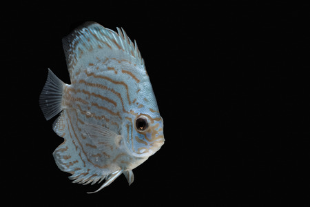 discus: Pompadour (Discus) fish with copy space on black background