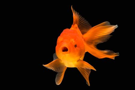 orange gold fish isolate on background
