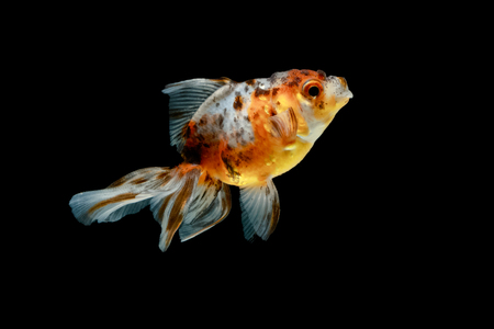 fishtank: tricolor gold fish isolate on background