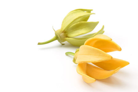 fragrant: Ylang-Ylang flower,Yellow fragrant flower on white background