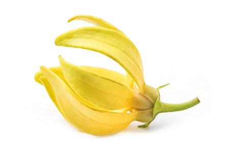 Ylang-Ylang bloem, Geel geurende bloem op een witte achtergrond Stockfoto