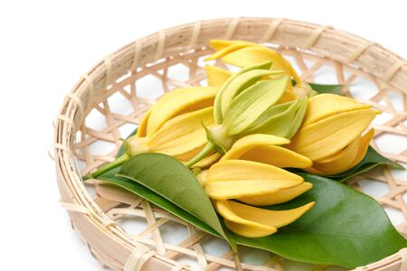 Ylang-Ylang flower,Yellow fragrant flower on a white background