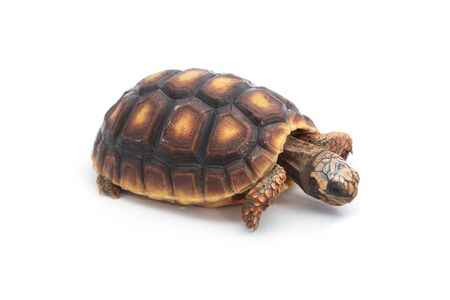 Red-footed tortoises , Chelonoidis carbonaria on white background