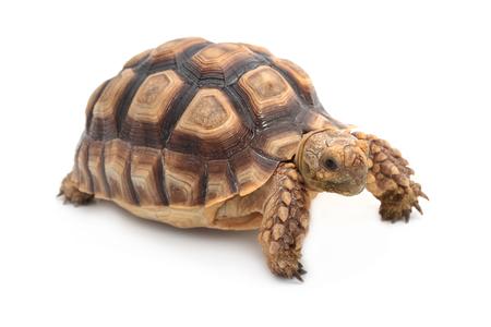 sulcata: African spurred sulcata Tortoise, Geochelone sulcata,  on white background