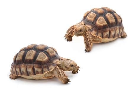 African spurred sulcata Tortoise, Geochelone sulcata,  on white background