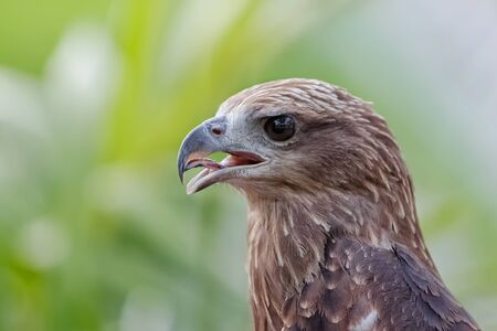 talons: Close up of a red hawk on natural environment Stock Photo