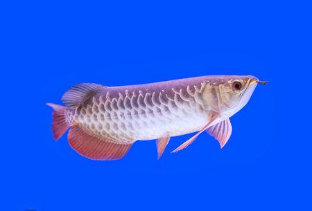 cichlid: Arowana fish red tail on blue background