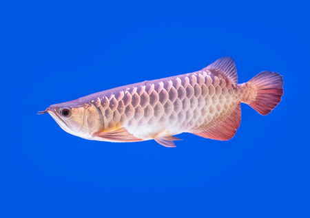 arowana: Arowana fish red tail on blue background