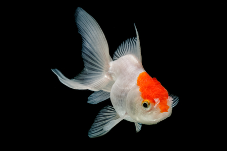 Red Cap Oranda Goldfish Isolated on black