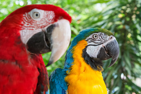 Coloseup colorful couple macaws on green nature background Stock Photo
