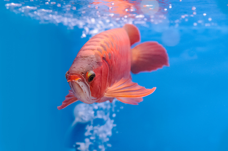 Asian arowana red fish,dragon fish