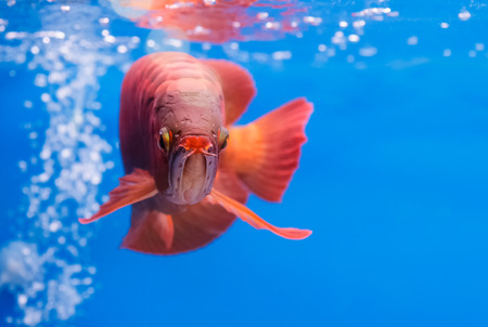 arowana: Asian arowana red fish,dragon fish