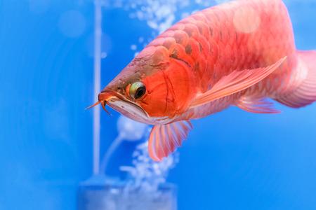 dragon swim: Asian arowana red fish,dragon fish