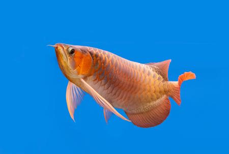 arowana: Golden arowana swims in a fish tank.