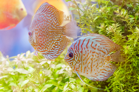 discus: Discus fish (Symphysodon) swimming in an aquarium