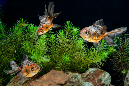 freshwater aquarium plants: Goldfish in aquarium with green beautiful planted tropical Stock Photo